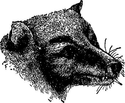 Pteropus personatus