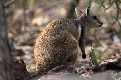wallaby des rochers (Petrogale lateralis)
