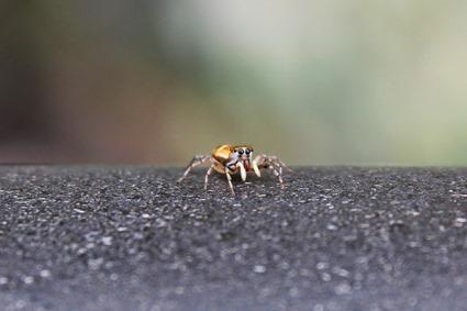 Araignée sauteuse - saltique