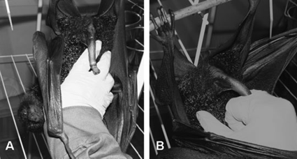 A. Penile erection in Pteropus alecto; B. insertion of penis between the index and middle fingers of the collector's gloved fist.