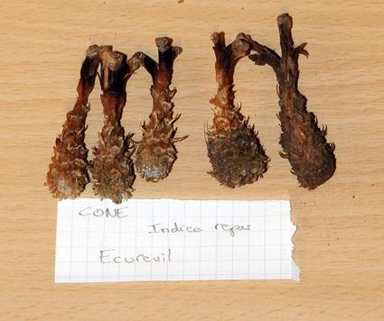 Cônes, indices de repas d'écureuils
