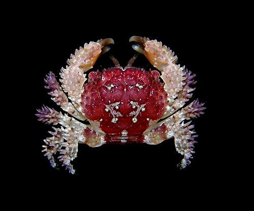 Actaea polyacantha, Arthur Anker
