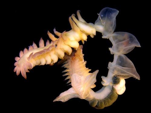 Chaetopterus sp, Arthur Anker
