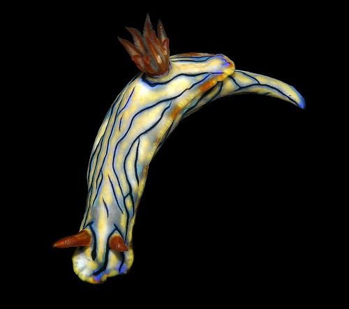 Hypselodoris nigrostriata, Arthur Anker