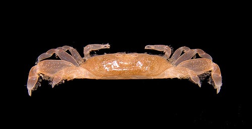 Parapinnixa sp, Arthur Anker