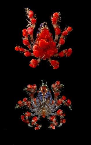 Pelia mutica, Arthur Anker