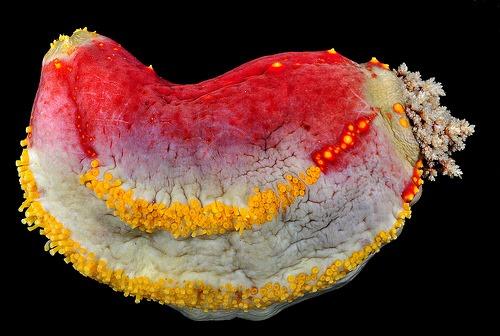 Pseudocolochirus olivaceus, Arthur Anker