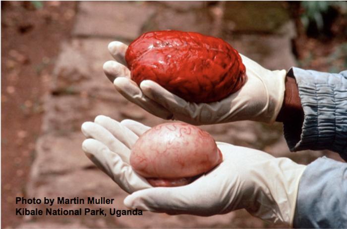 Comparaison de la taille du cerveau d'un chimpanzé (en haut) avec la taille d'une de ses testicules...