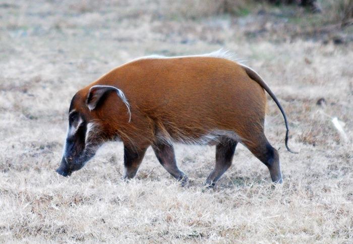 le Potamochère Roux Potamochoerus porcus