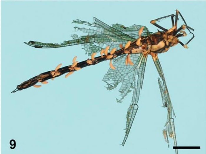 Cordyceps sur libellule