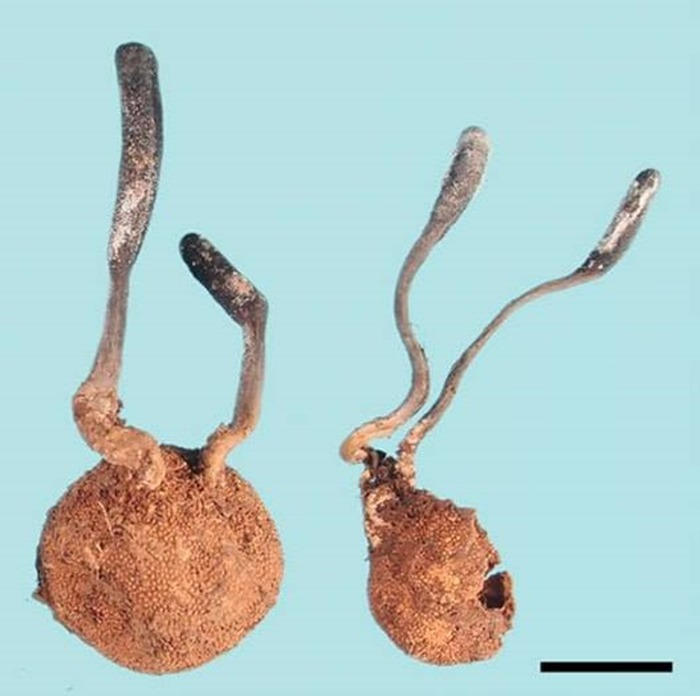 Cordyceps sur truffes