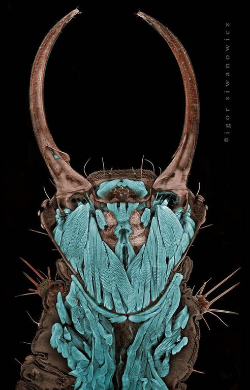Igor Siwanowicz, section de tête de larve de chrysope Chrysoperla rufilabris