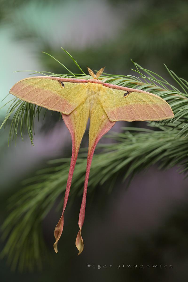 Chinese comet moth, Actias dubernardi, Igor Siwanowicz