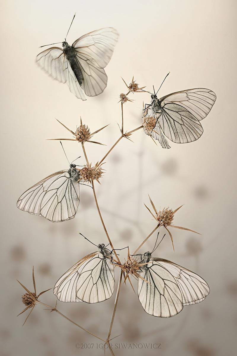 morning butterflies, Aporia crataegi, Igor Siwanowicz