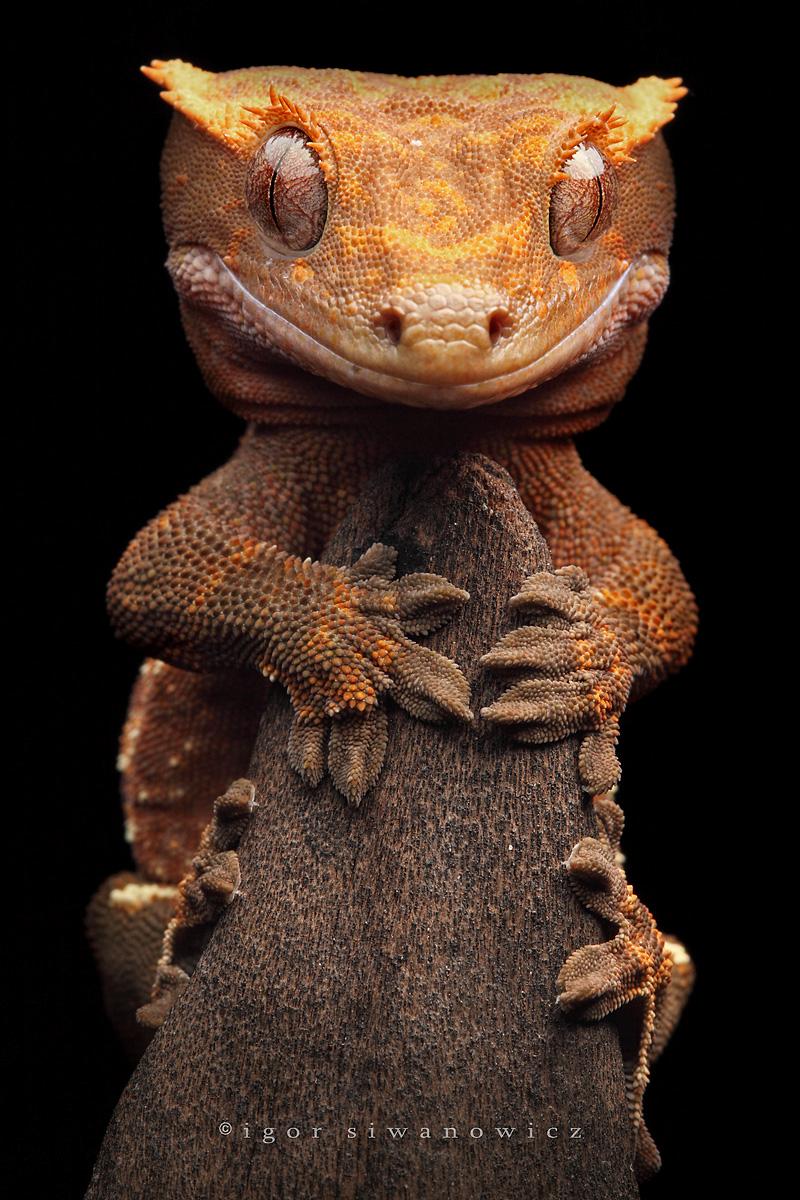 dragonbear, Rhacodactylus ciliatus, Igor Siwanowicz