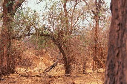 Giraffa camelopardalis giraffa