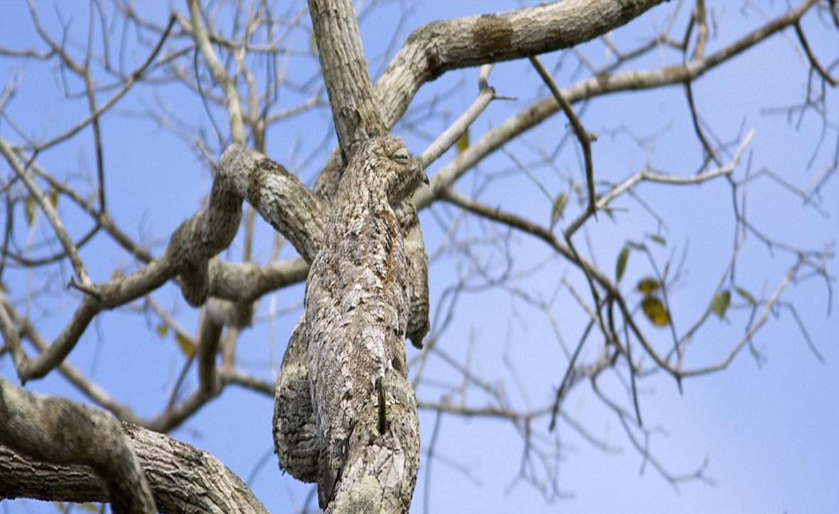 Nyctibius grandis