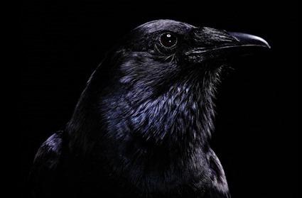 Edgar, une Corneille d'Amérique (Corvus brachyrhynchos), Bob Croslin