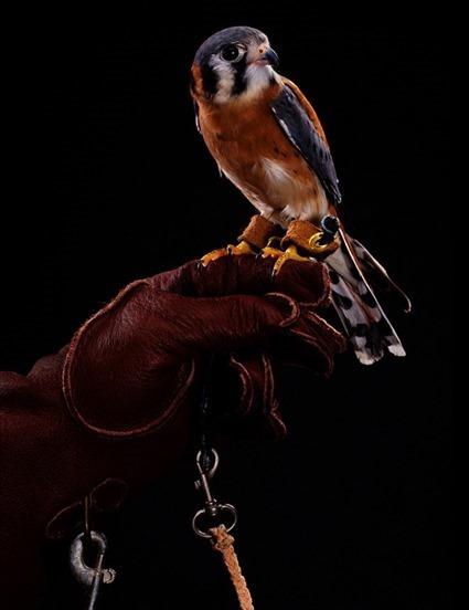 Crécerelle d'Amérique (Falco sparverius), Bob Croslin
