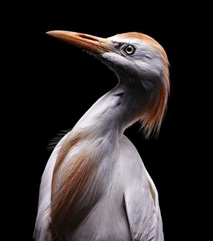Héron garde-bœufs (Bubulcus ibis), Bob Croslin