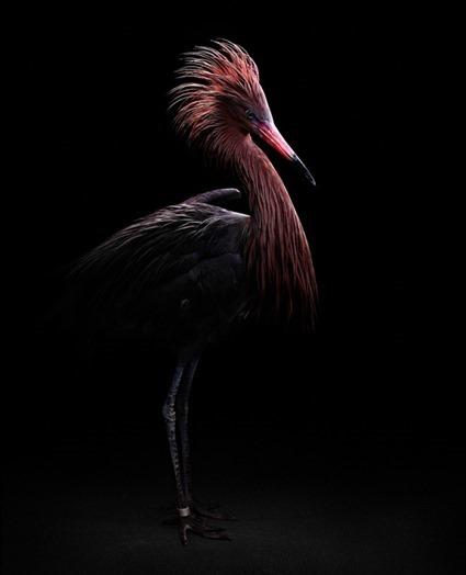 Reddish, l'Aigrette roussâtre (Egretta rufescens), Bob Croslin
