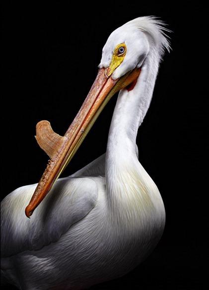 Pélican d'Amérique (Pelecanus erythrorhynchos), Bob Croslin