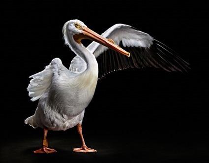 George le Pélican d'Amérique (Pelecanus erythrorhynchos), Bob Croslin
