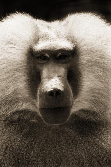 Babouin de Guinée, Papio papio