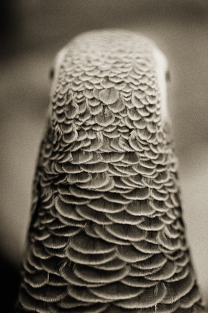 Perroquet jaco, Psittacus erithacus