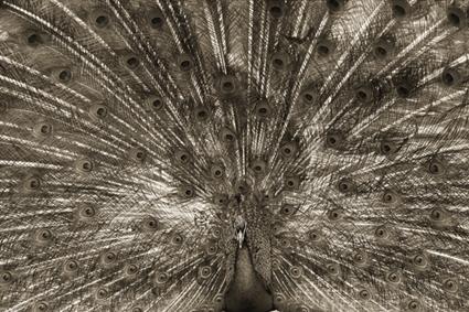 Paon bleu, Pavo cristatus