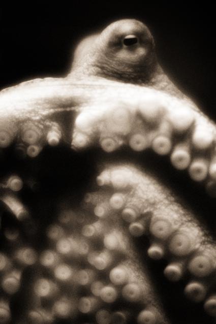Pieuvre géante du Pacifique, Enteroctopus dofleini