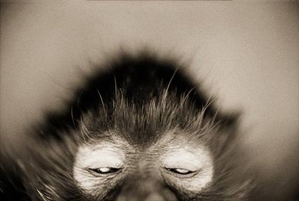 Singe-araignée à front blanc, Ateles marginatus