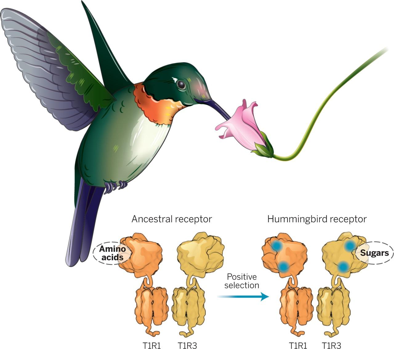 Réacquisition du goût sucré chez les colibris par modification du récepteur à l'<em>umami</em>, Baldwin et al., 2014