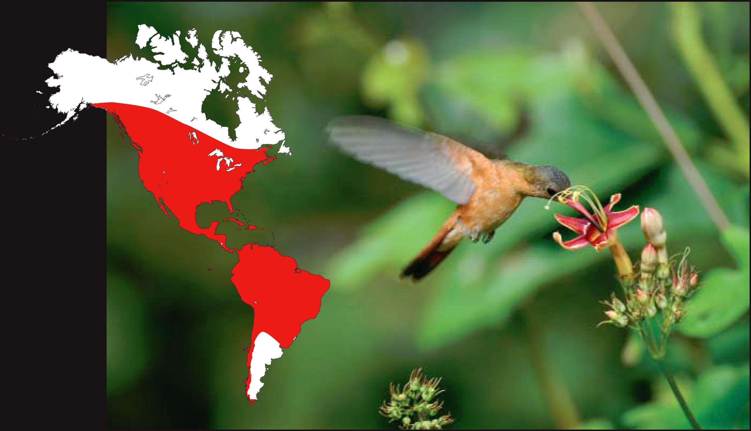 Distribution des colibris actuels, dont Amazilia rutila