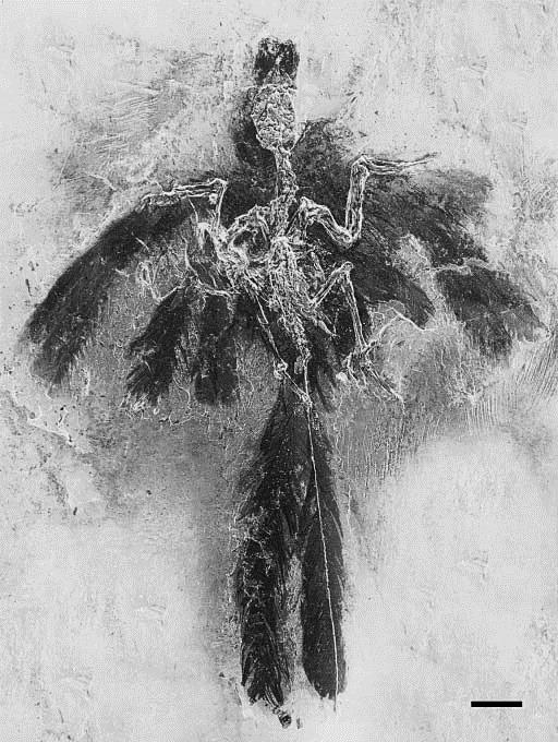 Holotype de Parargornis messelensis , Gerald Mayr