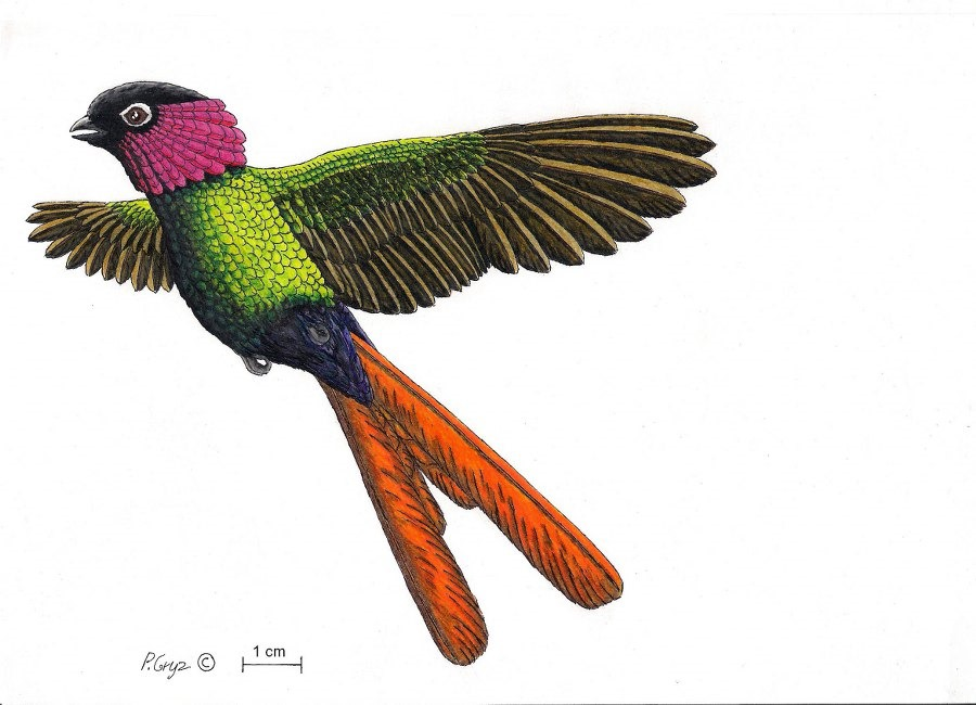 Reconstitution de Parargornis messelensis , Piotr Gryz