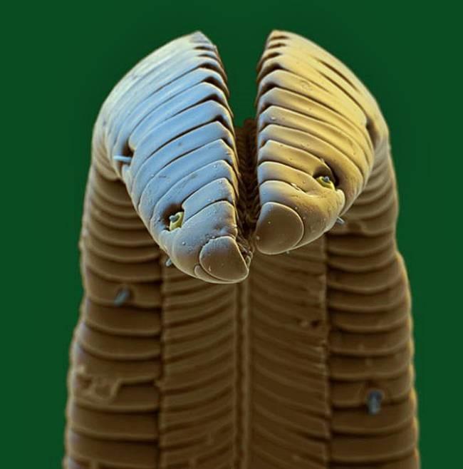 Langue de colibri vue au microscope électronique