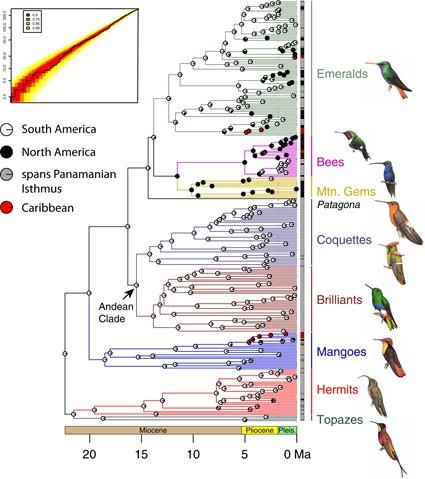 Arbre phylogénétique avec calibration temporelle de 284 espèces de colibris, McGuire et al., 2014