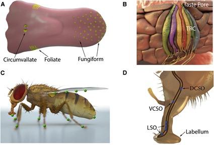 Les organes du goût chez les mammifères et la mouche drosophile, Liman et al., 2014
