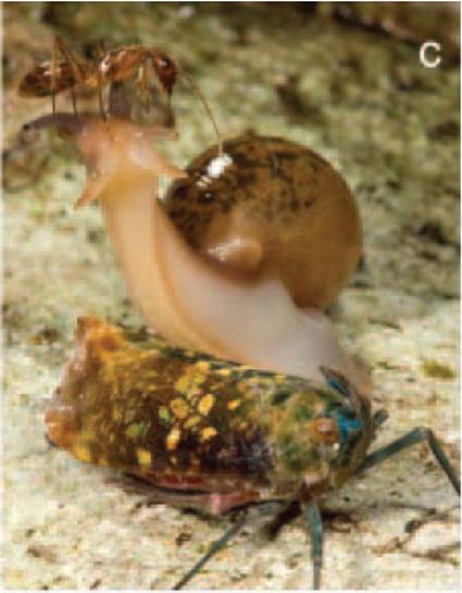 Enchophora sanguinea avec un escargot trophobiotique et fourmi kleptotrophobiotique