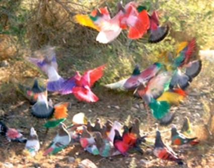 Pigeons Peints