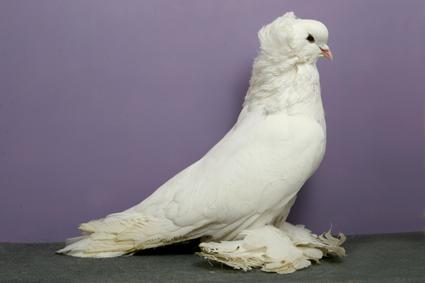 Hungarian Giant House Pigeon CH OC622 Bob Nolan Kathie Johnson.jpg