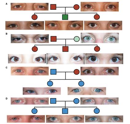 Distribution de la couleur des yeux suivant les lois de Mendel, Sturm et al., 2009