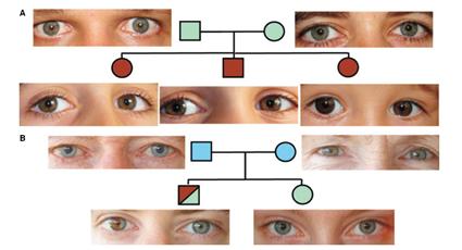 Distribution de la couleur des yeux ne suivant pas les lois de Mendel, Sturm et al., 2009