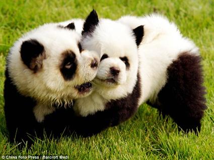 Chiens pandas