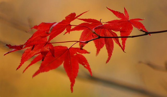 Feuilles d'érable palmé en automne