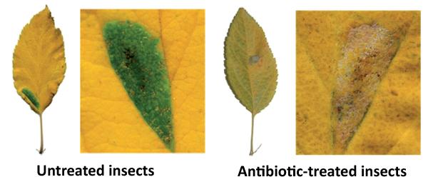 Effet de l'application d'un antibiotique sur l'apparition d'îlots verts sur des feuilles jaunissantes