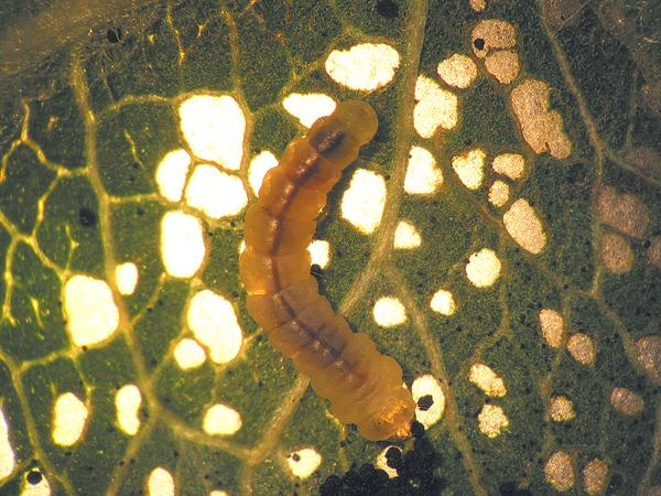 Larve de Phyllonorycter blancardella