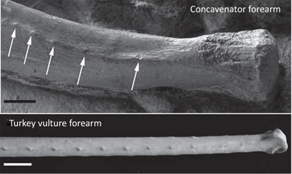 Comparaison de l'ulna de Concavenator et de l'urubu (Cathartes sp.)