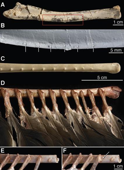 Comparaison de l'ulna de Velociraptor (A et B) et de l'urubu Cathartes (C, D, E et F)